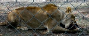 lion-eating-001-orana-park-20080223-1-of-13