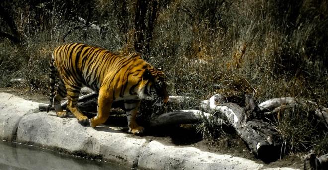 sumatran-tiger-orana-park-20080223-1-of-1