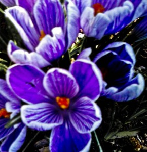 Crocussen  (1 of 1)